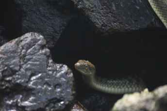 gray snake on black rock formation