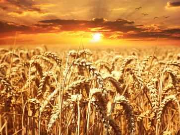 sunset cereals grain lighting